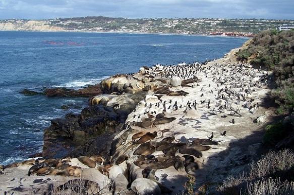5-38 Sea lions, pelicans, commerants, La Jolla
