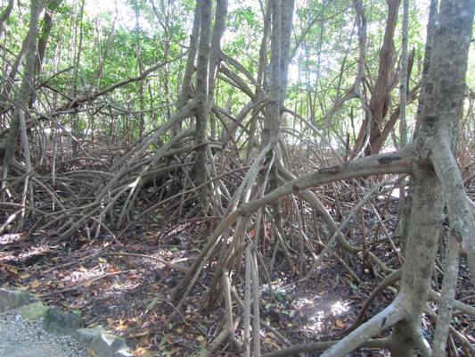 5 Sandos Caracol Mangroves