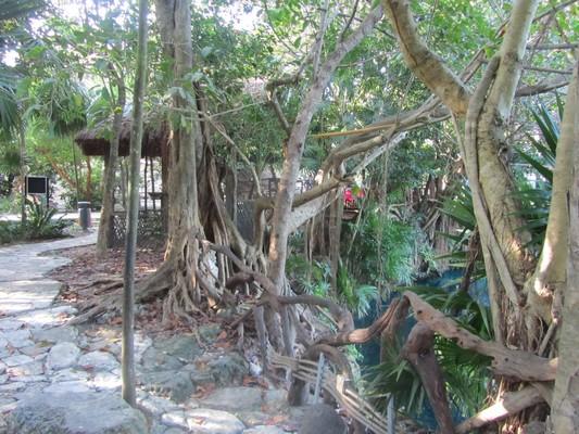 136 Alamo trees @ Tortuga Lagoon